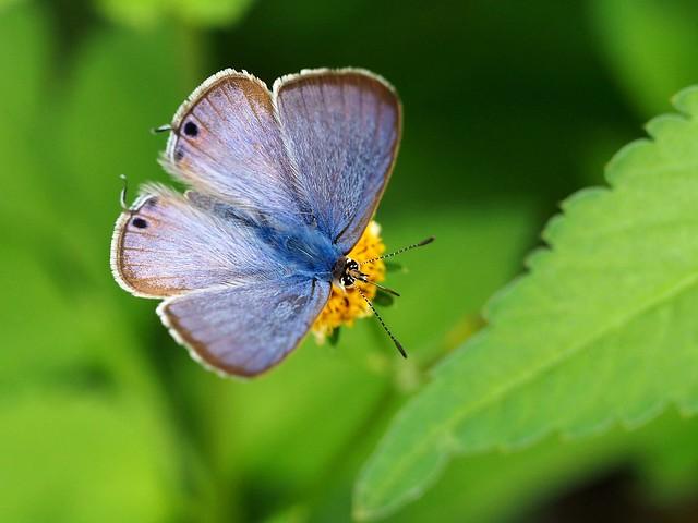 Oriental short-tailed blue butterfly (タイワンツバメシジミ)