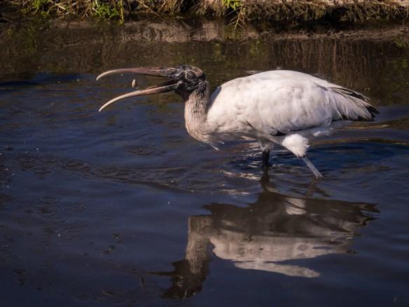 Wood Stork and Minnow