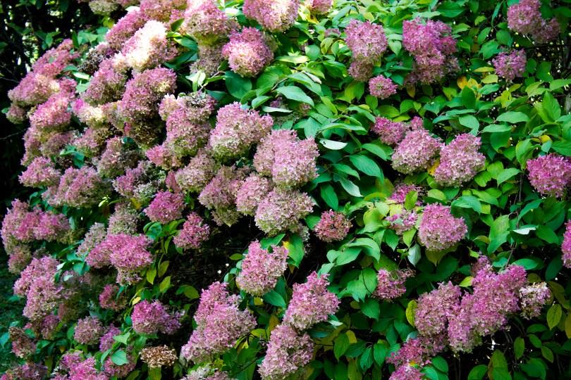 tyler-arboretum-hydrangea-bush-pink