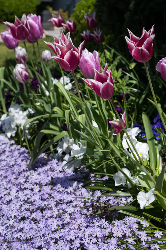 Tulips, Pansies, and Phlox