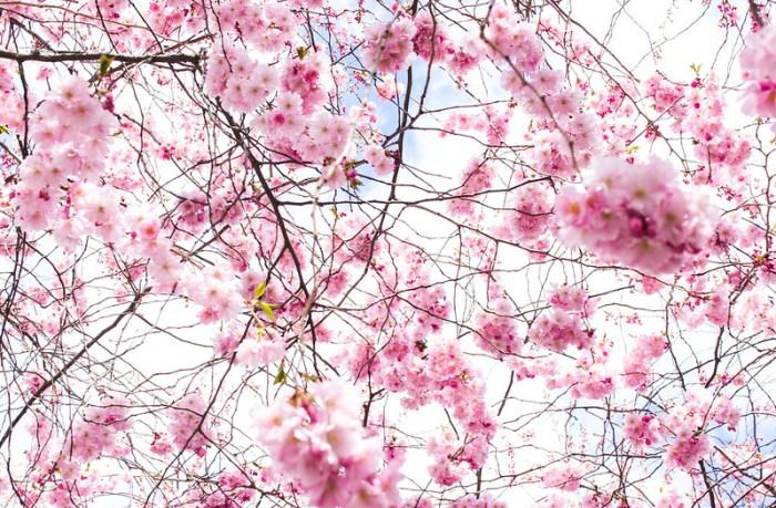 rosa_cherries6