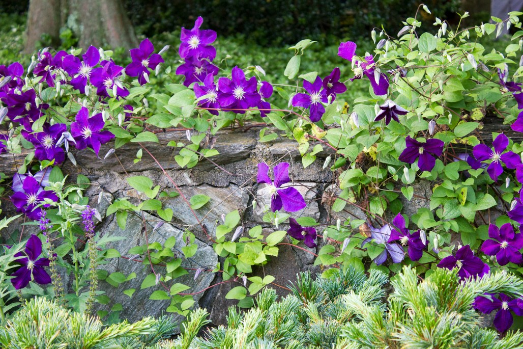 longwood-gardens-june-2016-purple-flowers-stone-wall