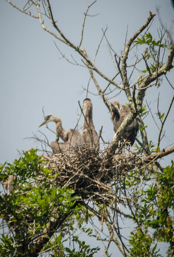 Lake Connestee Heron Rookery-007