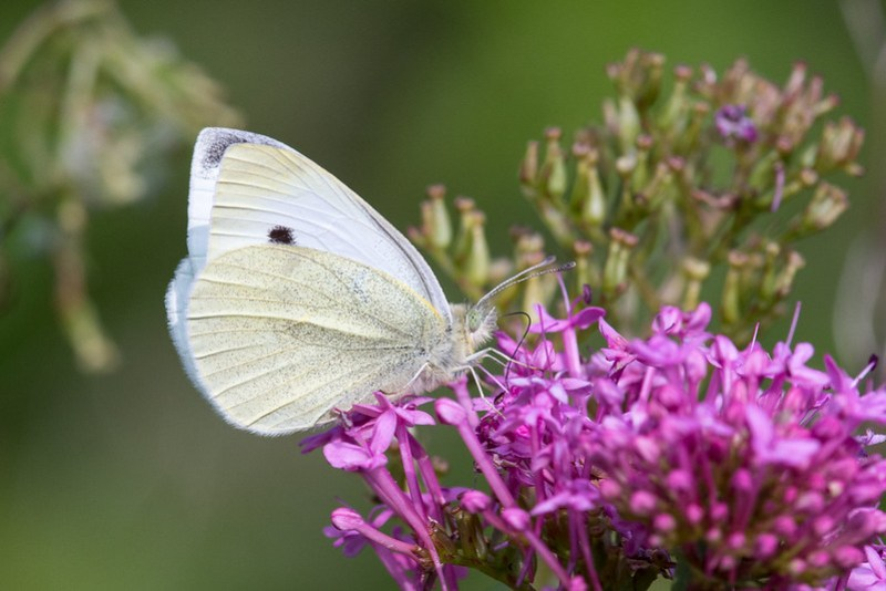A Small White feeding on Valerian