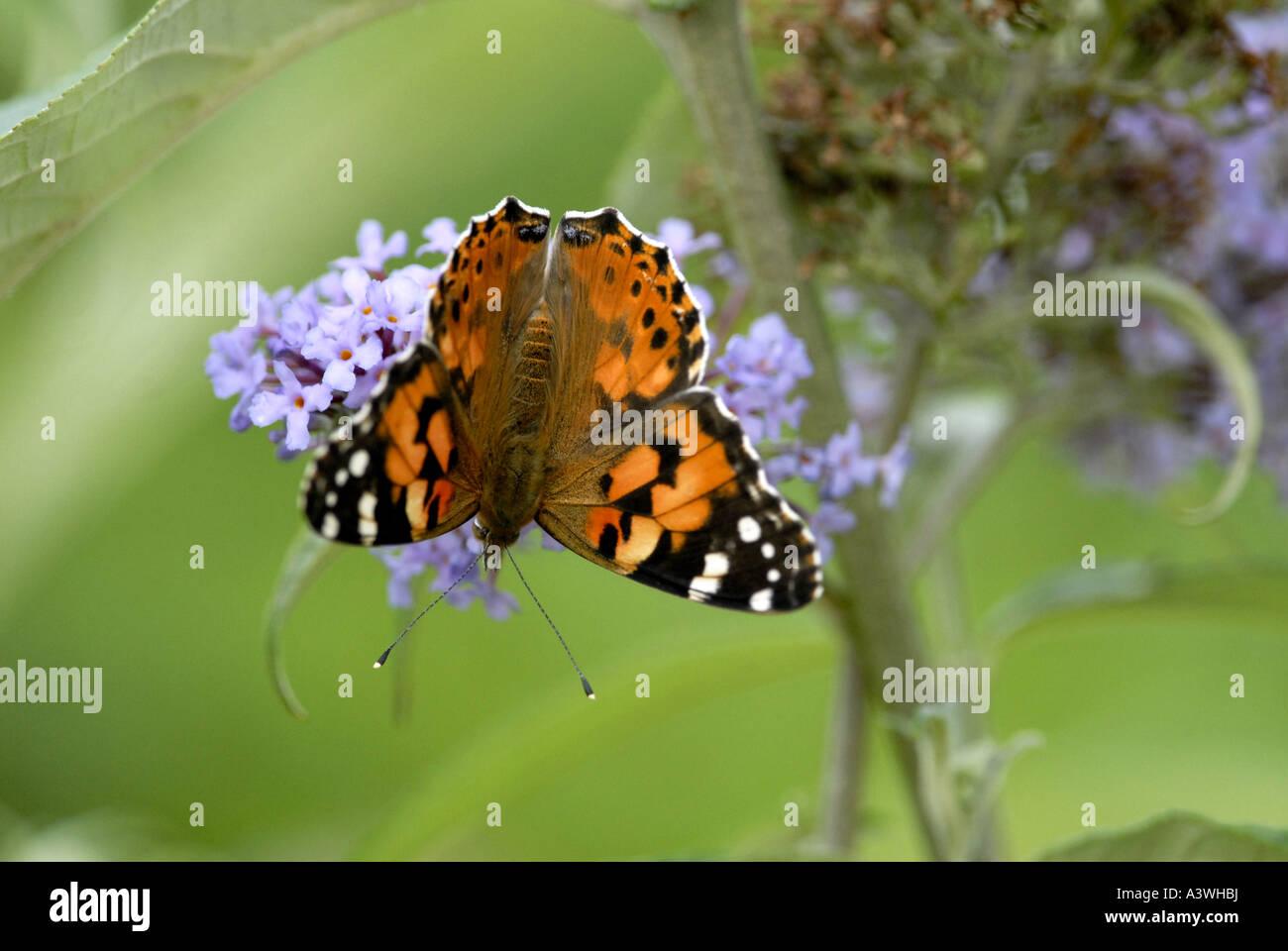 Painted Lady Caterpillar Vanessa Cardui Stock Photos