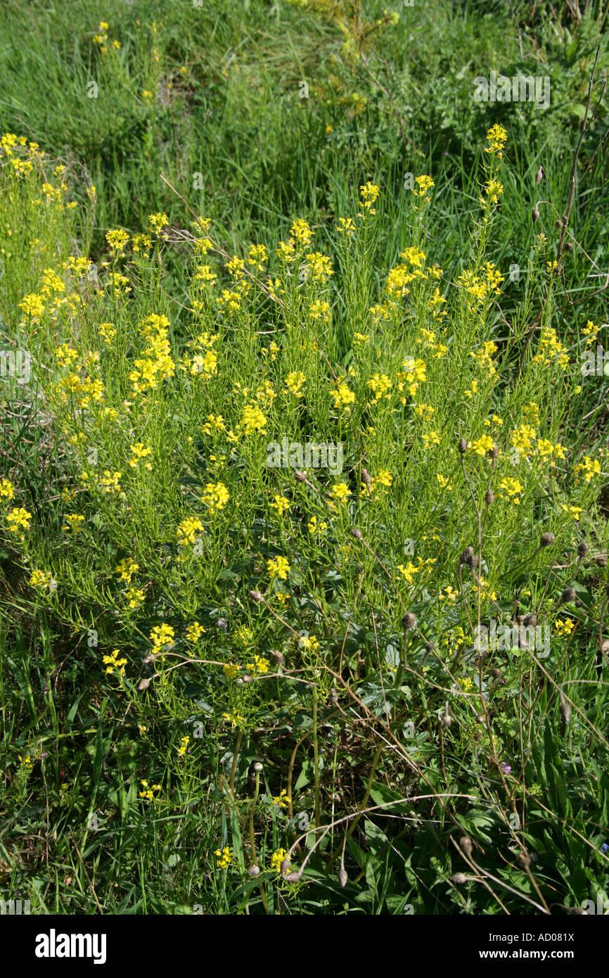 Birds Rape Field Mustard Winter Cress or Wild Turnip
