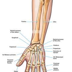 Forearm Bones Diagram 2009 Chevy Aveo Radio Wiring Anatomy Of The Arm And Hand Stock Photo 7711367 Alamy