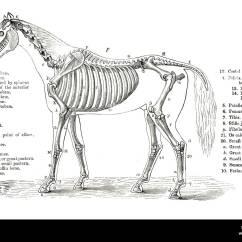 Horse Skeleton Diagram Blank Fiat Spider Wiring Bone Schematics