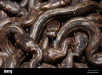 Snake Eggs Hatching Stock Photos & Snake Eggs Hatching ...