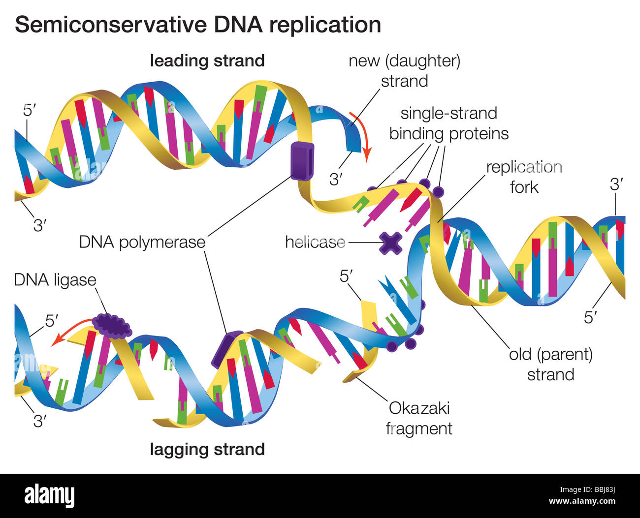 In Semiconservative Dna Replication An Existing Dna
