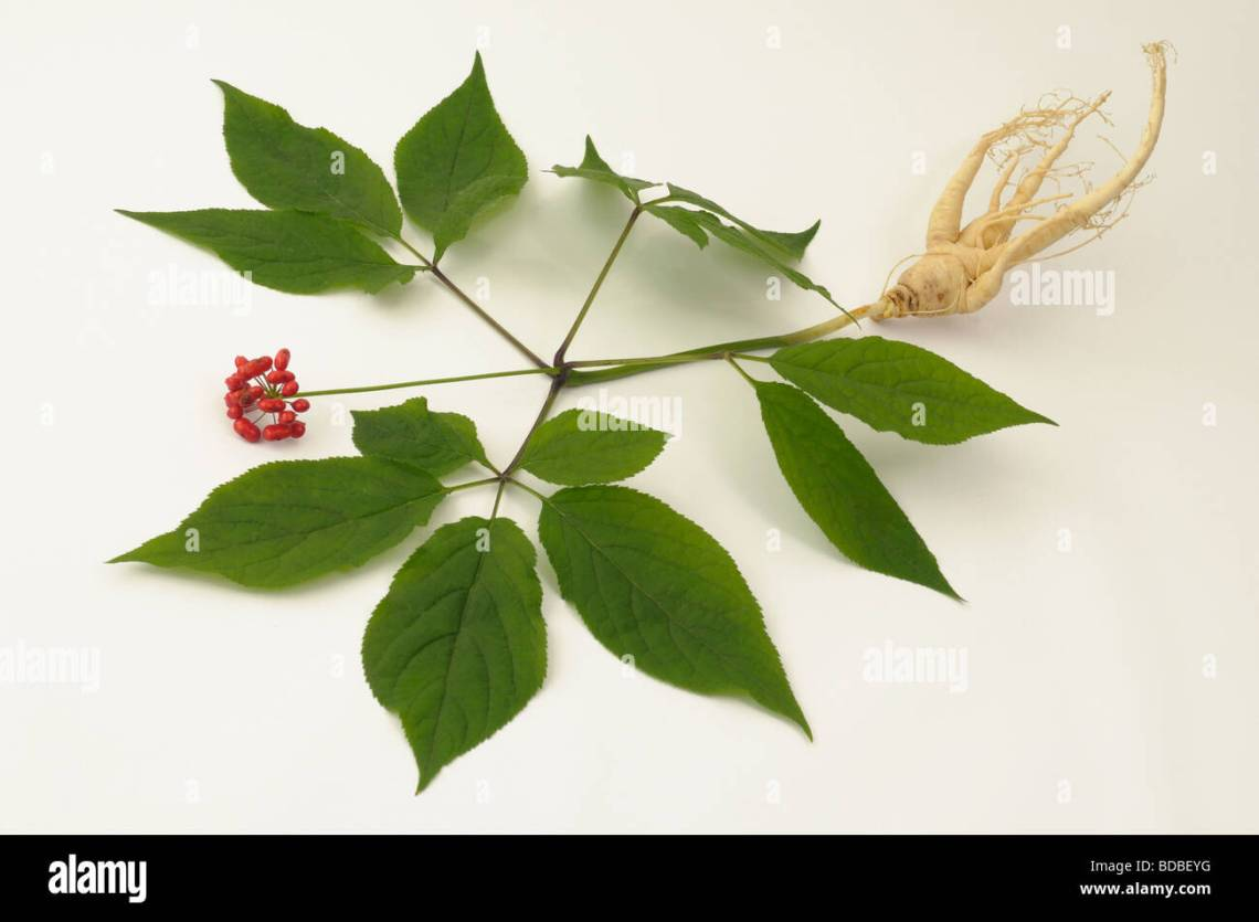 Image Result For Where To Buy Ginseng Root To Plant