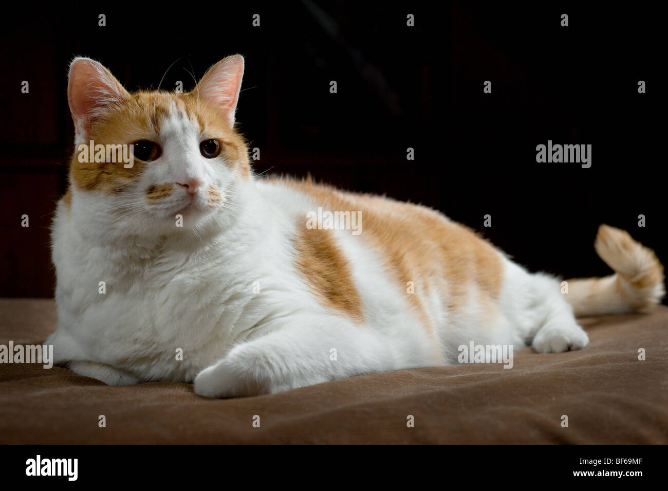 Overweight orange and white spotted cat portrait Stock