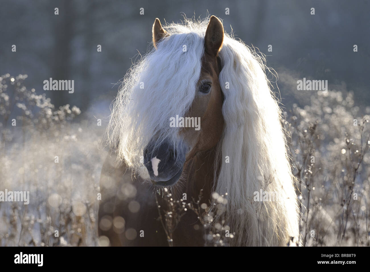 Haflinger Horse Equus ferus caballus portrait of a stallion with Stock Photo Royalty Free Image 31595881  Alamy