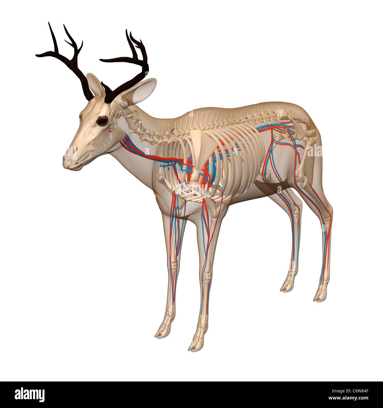 deer skeleton diagram switch wiring ceiling fan anatomy heart circulation transparent body