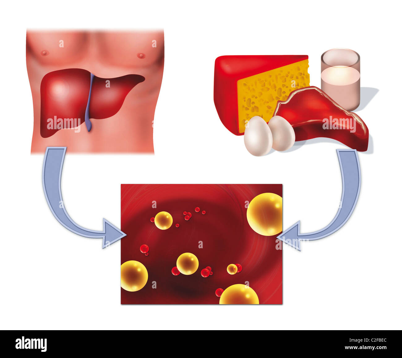 hight resolution of diagram illustration of cholesterol in food and human liver health