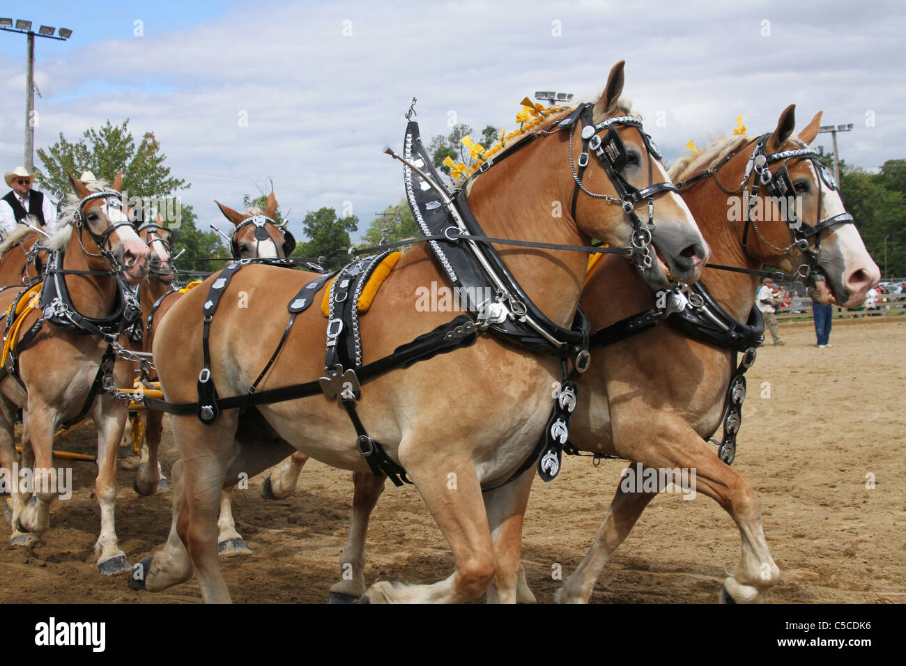 Workhorses With Harnesses Draft Horses Pulling A Wagon