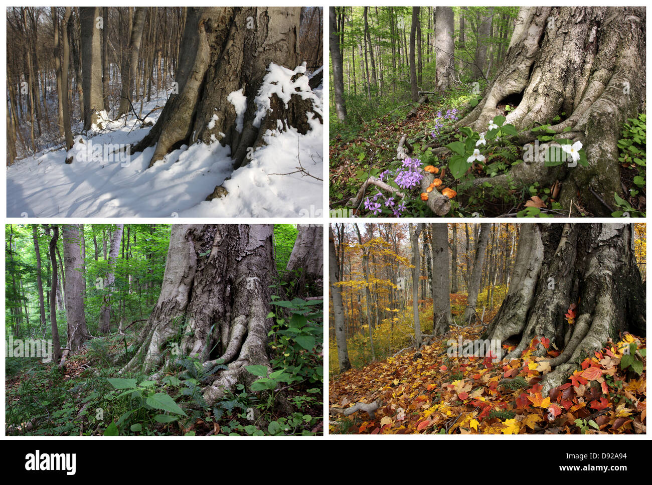 Four Seasons Sequence Same Beech Tree Roots In Winter