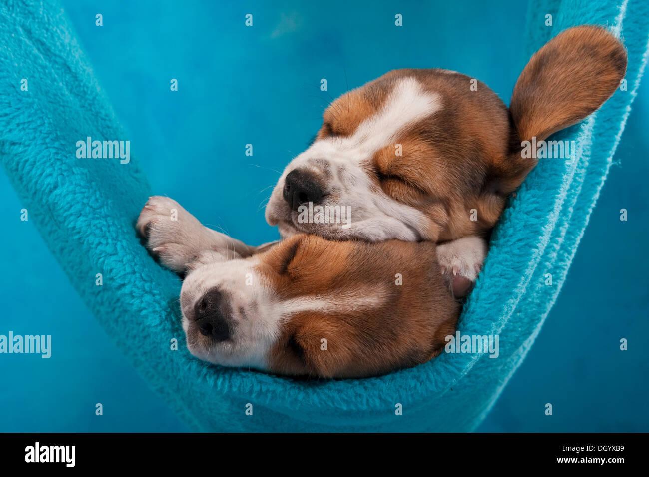 Two Beagle Puppies Sleeping In A Hammock Stock Photo