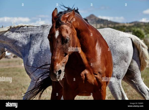 Bay Colored Horse With Ears Pinned Showing Agitation