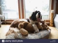 Saint Bernard dog laying stuffed animals dog bed Stock ...