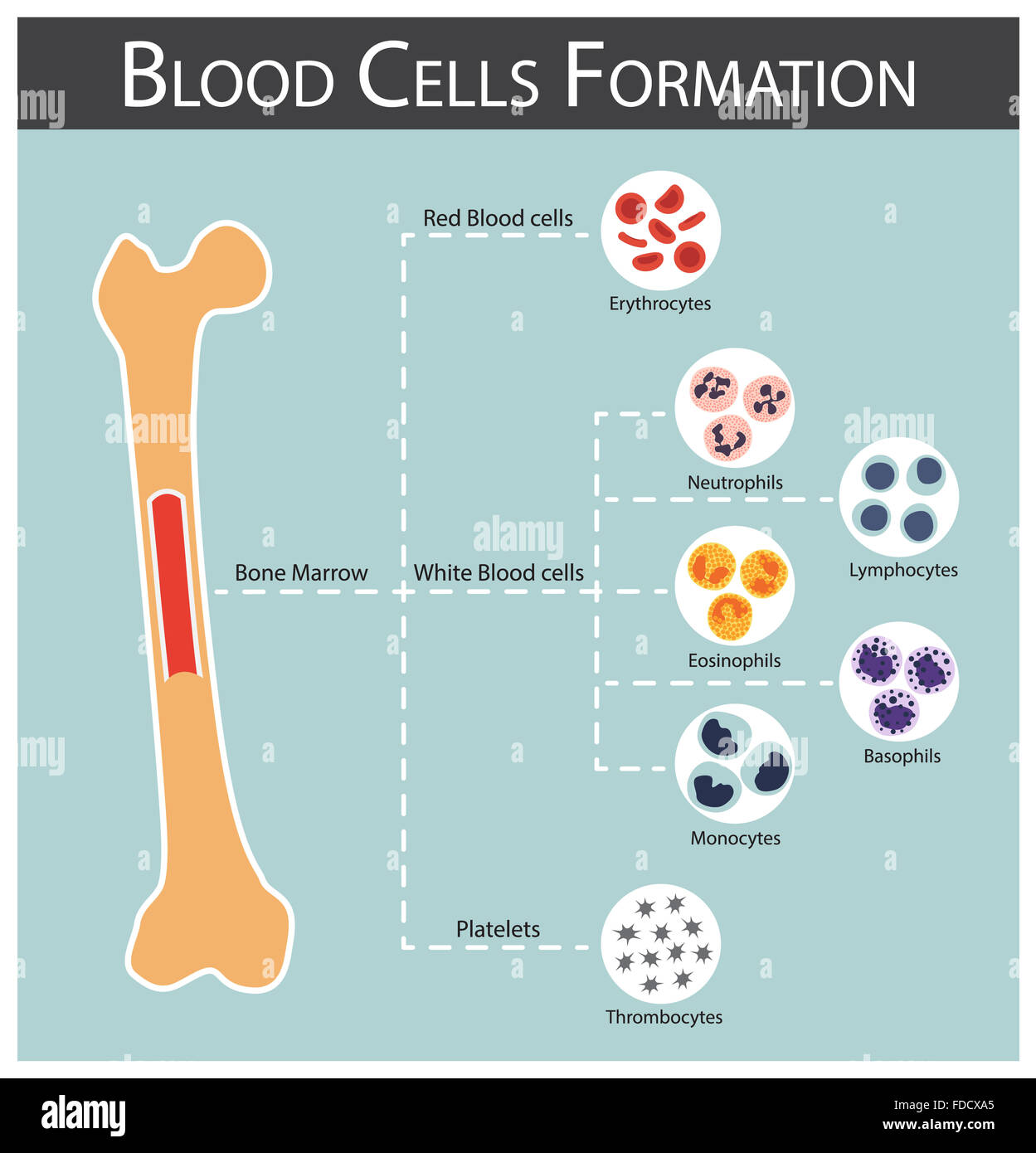 bone marrow cell diagram eyfs planning cycle blood cells formation produce