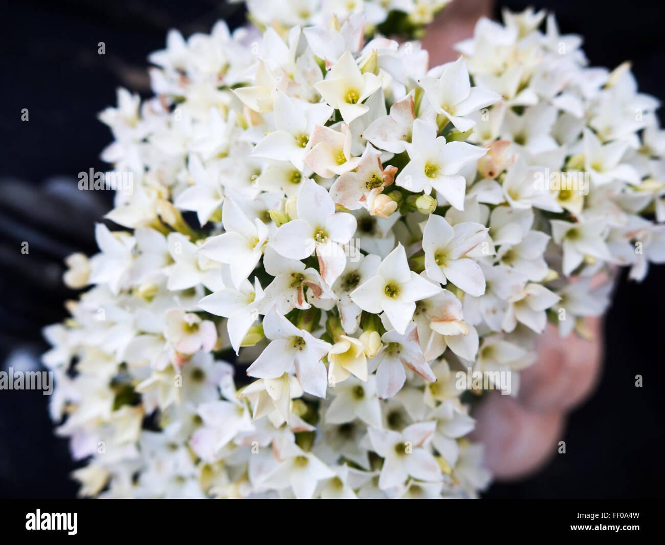 Small White Puff Ball Flowers