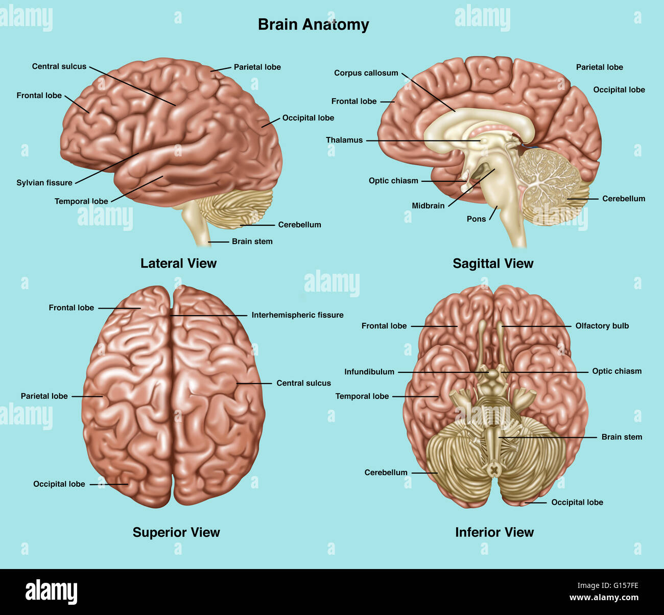 brain diagram sagittal view 4age distributor wiring illustration showing anatomy of a normal in lateral