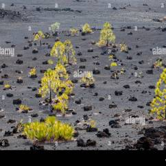 7pines Teneriffa 2008 Jeep Patriot Wiring Diagram Canary Pine Pinus Canariensis In Volcanic Landscape