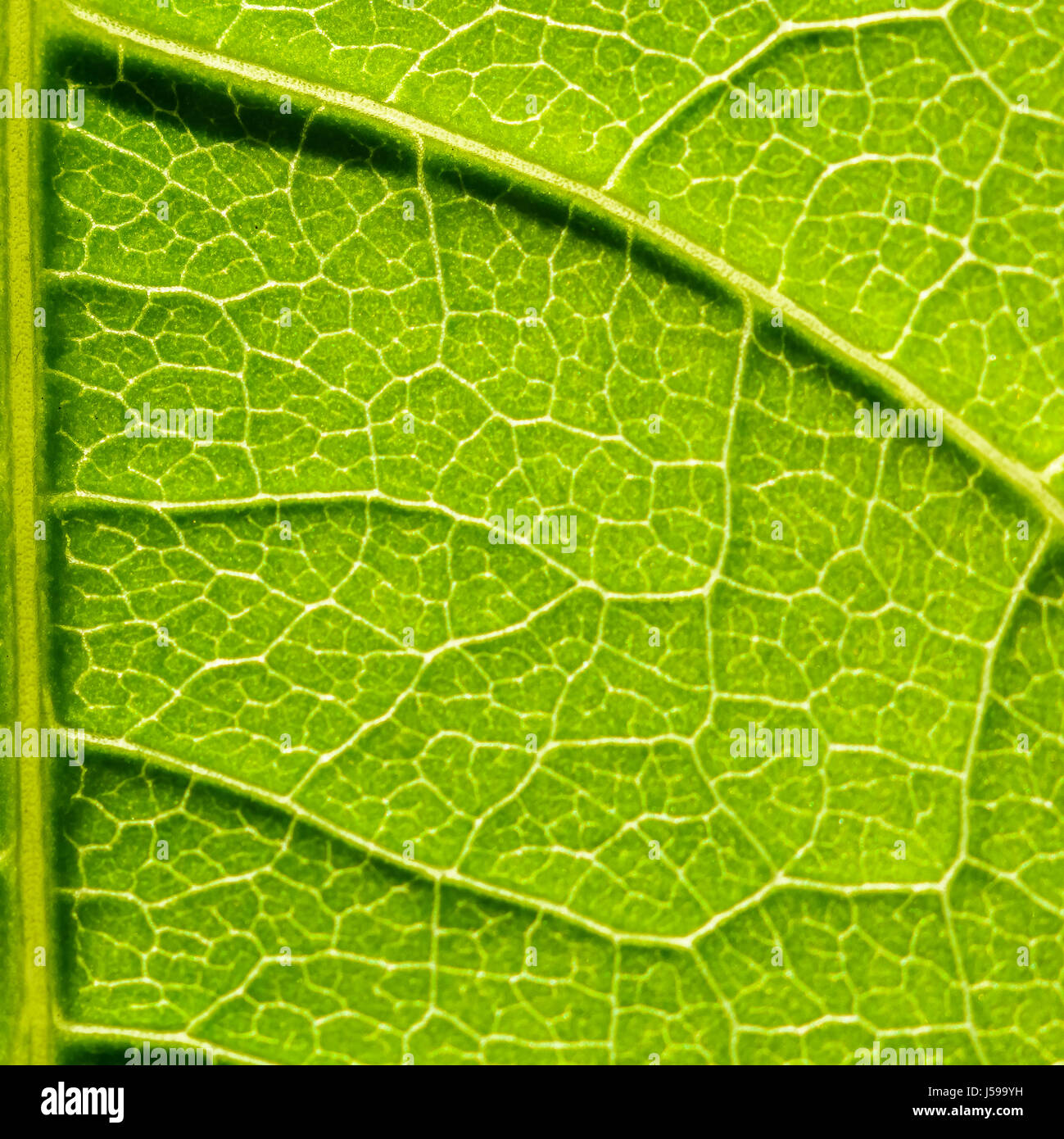 leaf epidermis diagram ford 7 blade wiring stomata stock photos and images alamy
