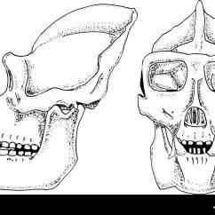 Chimpanzee Skull Diagram Mitosis And Meiosis Venn Worksheet Gorilla Skeleton Stock Photos