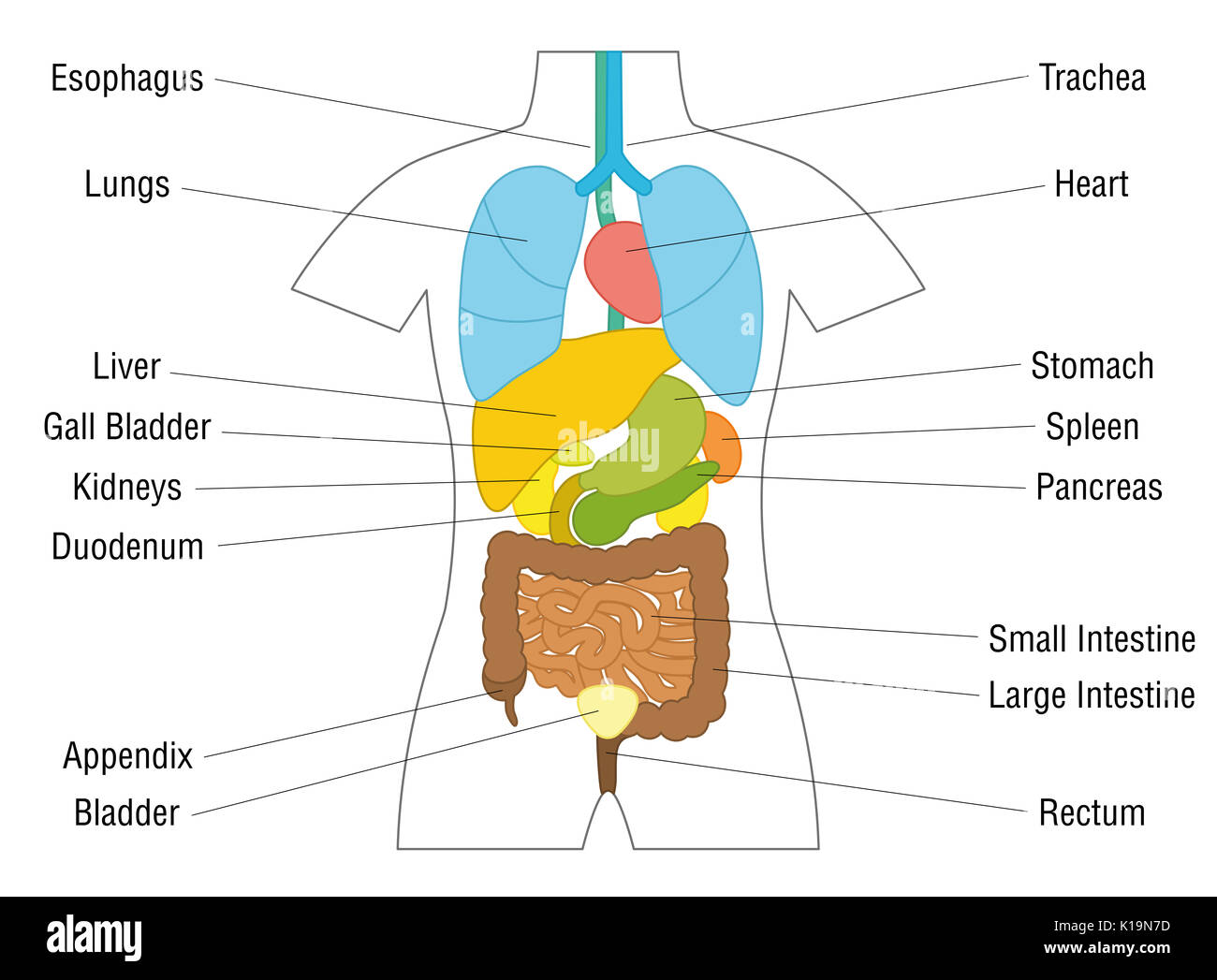 Organs Diagram Isolated Stock Photos Amp Organs Diagram Isolated Stock Images