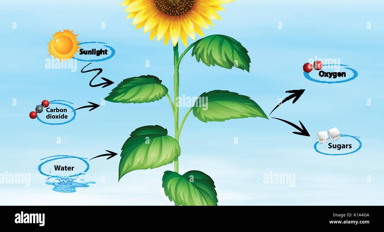 hight resolution of diagram showing sunflower and photo synthesis illustration
