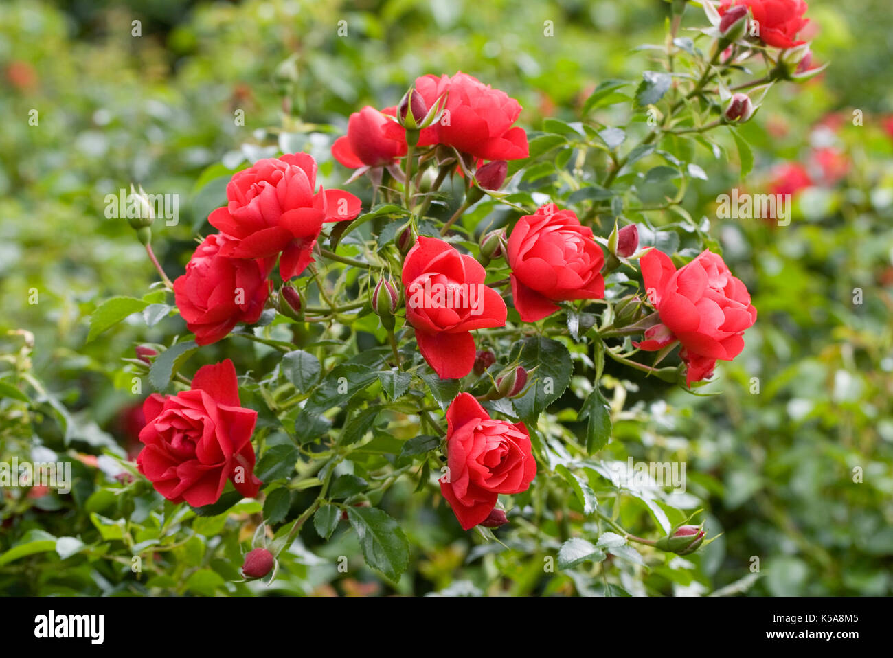 Scarlet Flower Heads Stock Photos & Scarlet Flower Heads