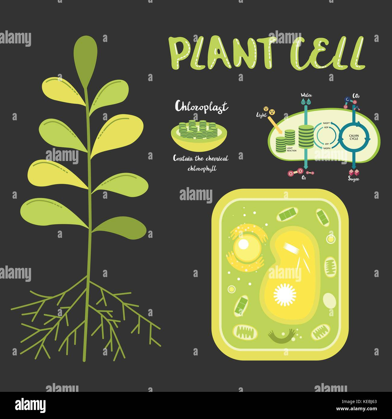 elodea leaf cell diagram network wall socket wiring plant chloroplast stock photos and