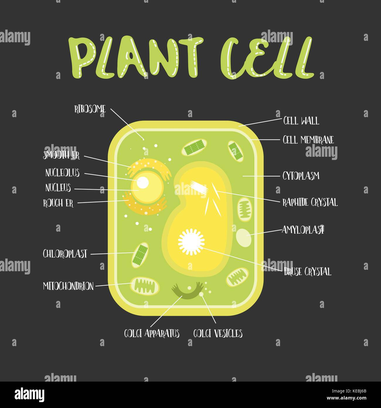 elodea leaf cell diagram 2005 honda civic speaker wiring plant chloroplast stock photos and