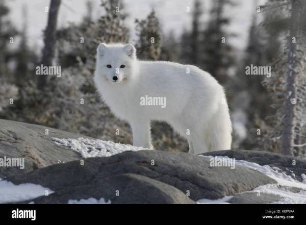Arctic Fox Genus and Species