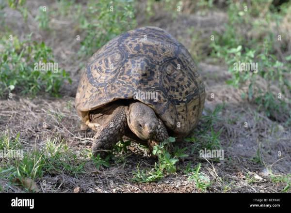 Leopard Tortoise Stigmochelys Pardalis Walking Stock