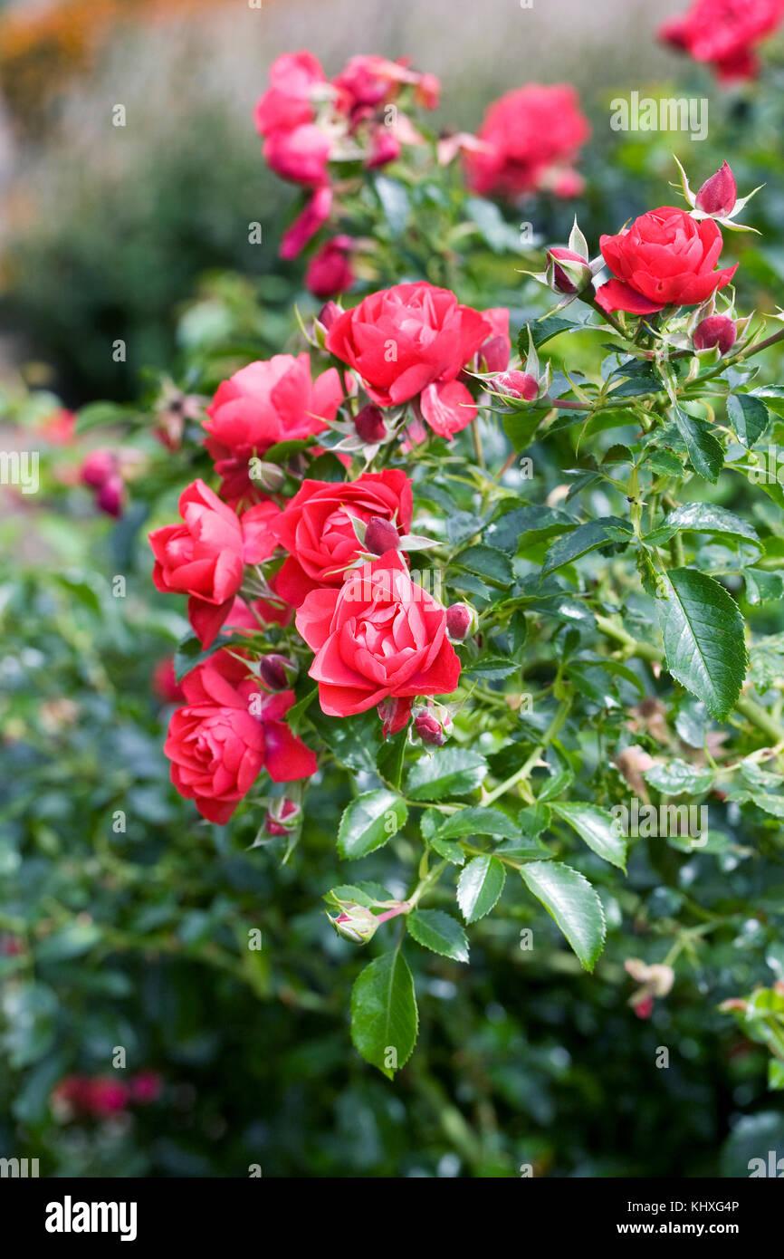 Flower Carpet Rose Stock Photos & Flower Carpet Rose Stock