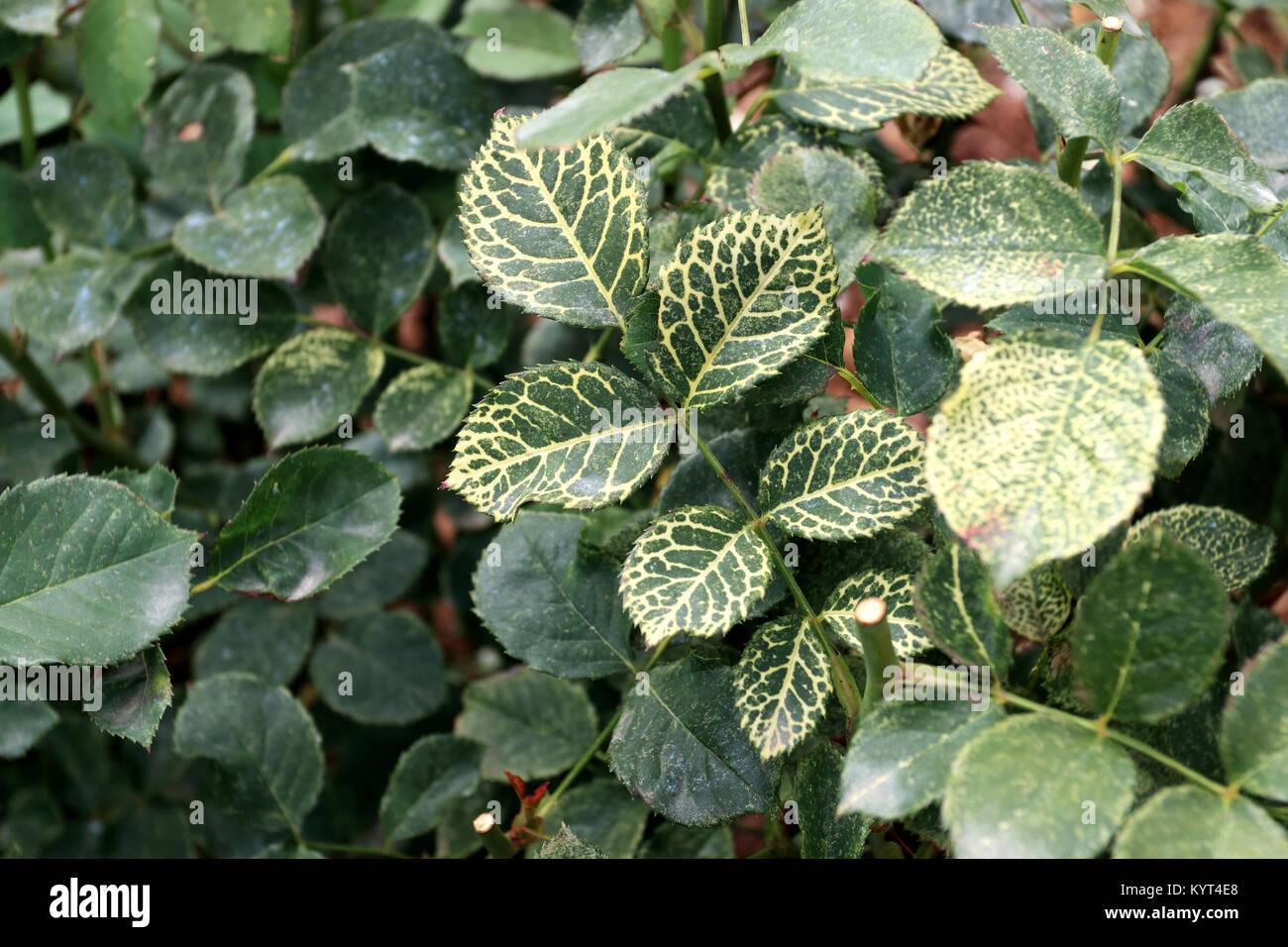 Mosaic Virus Stock Photos Amp Mosaic Virus Stock Images