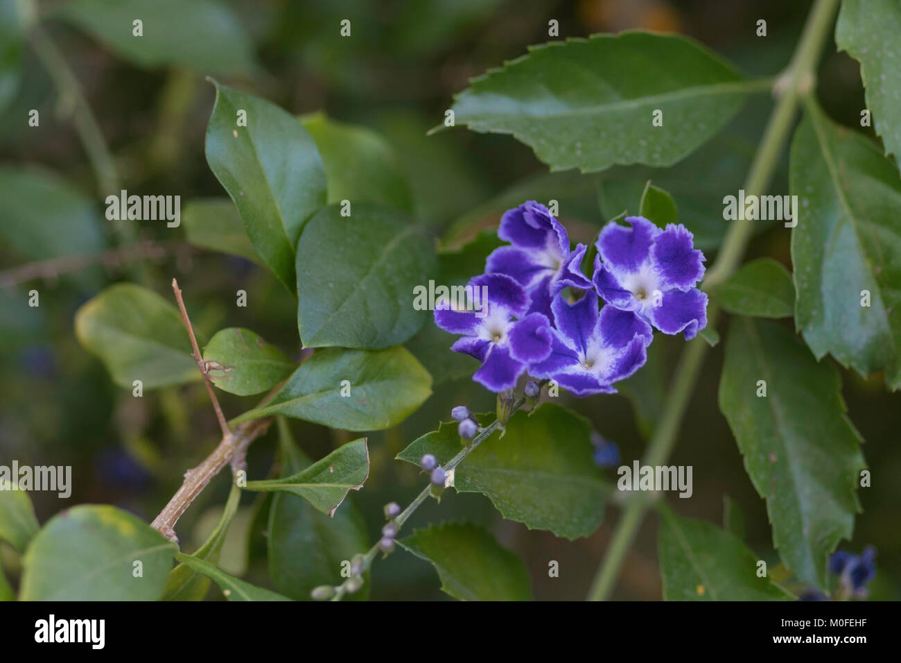 Teppich Verbene Phyla Stock Photos And Phyla Stock Images Alamy