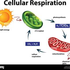 Diagram Of Cellular Energy Klr 650 Wiring Respiration Stock Photos And
