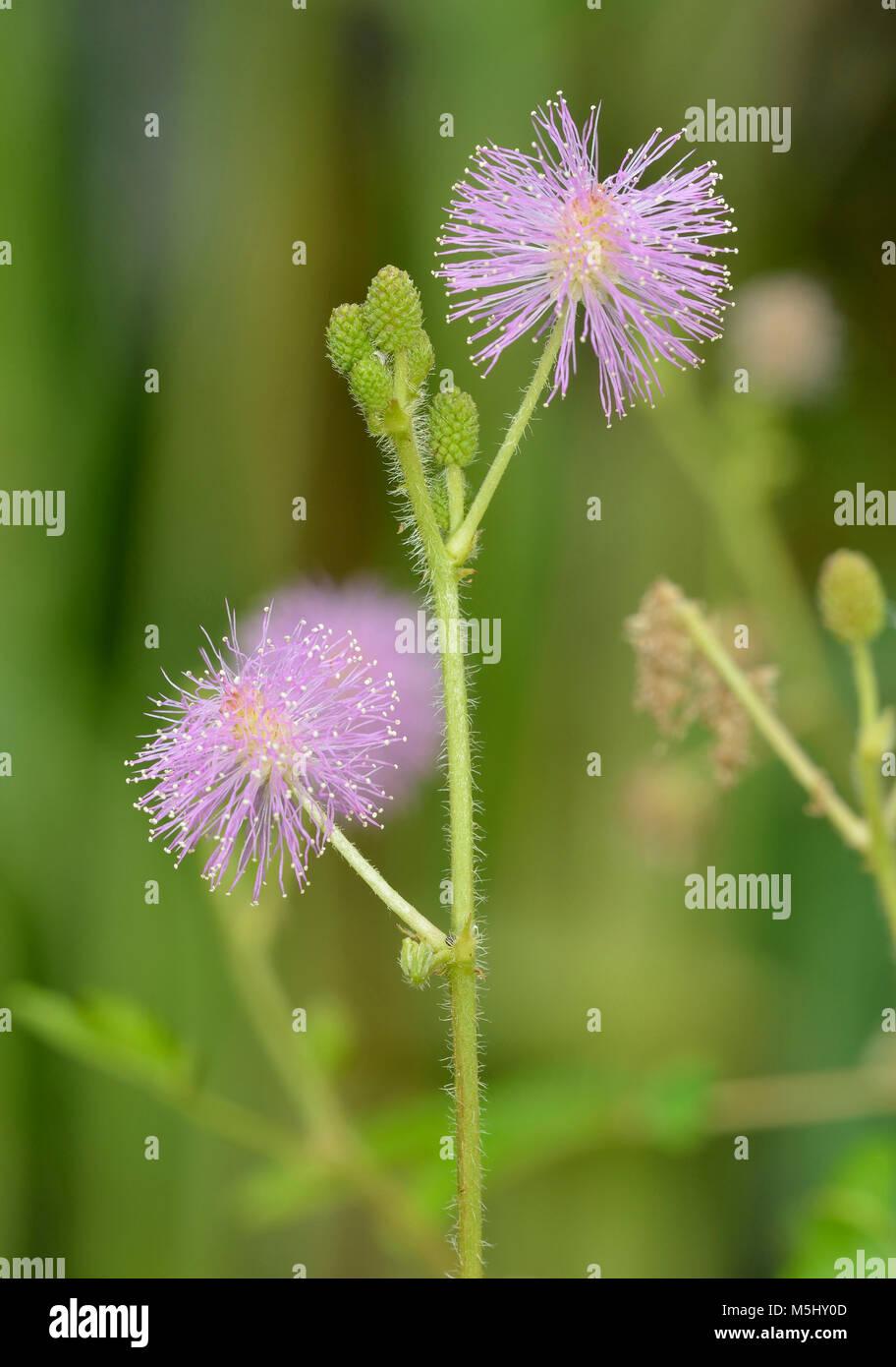 Sensitive Plant Seeds GardenSeedsMarket Mimosa pudica Mimosa