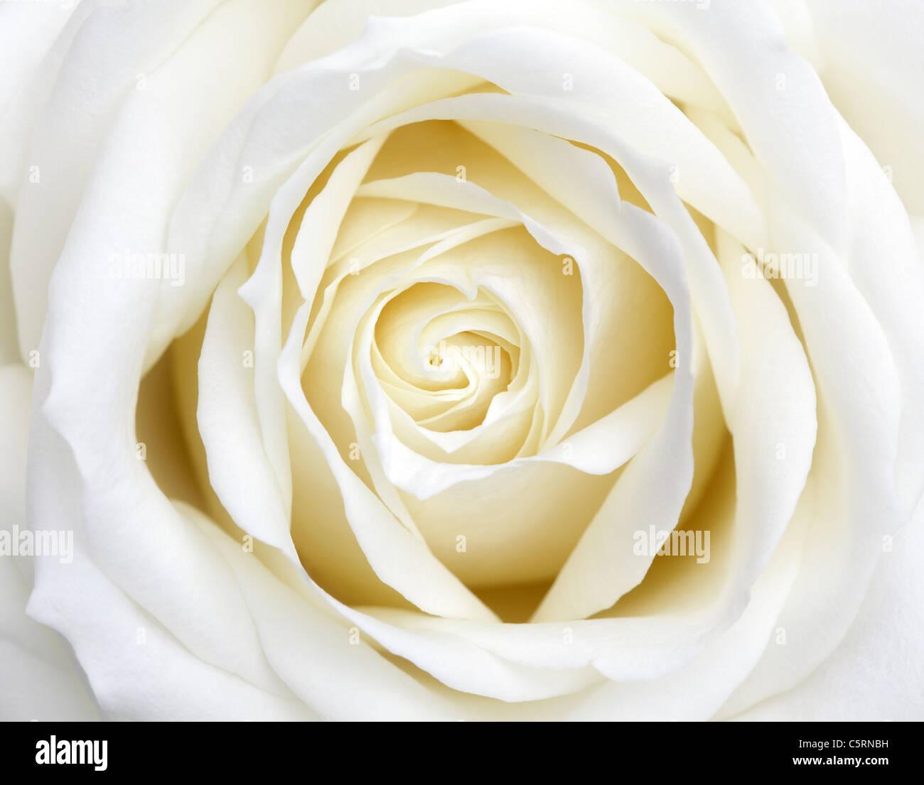 Weie Rose Symbol die wei e rose ein symbol der unschuld