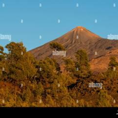 7pines Teneriffa Starter Wire Diagram Kanarische Kiefer Pinus Canariensis Vor Den Vulkan Teide
