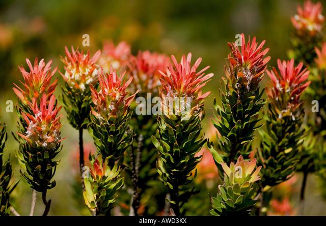 Sugarbush (Protea) blossoms, Harold Porter National Botanical Garden, Betty's Bay, South Africa, Africa Stock Photo