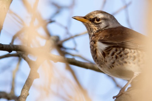Fieldfare - noticeably more wary than theRedwings and Waxwing.