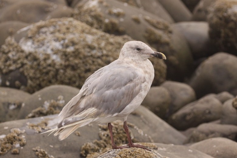 Glacious Wing Gull (Larus glacescens)