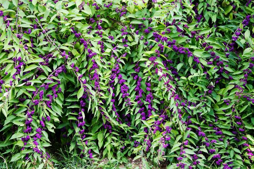 tyler-arboretum-purple-plant