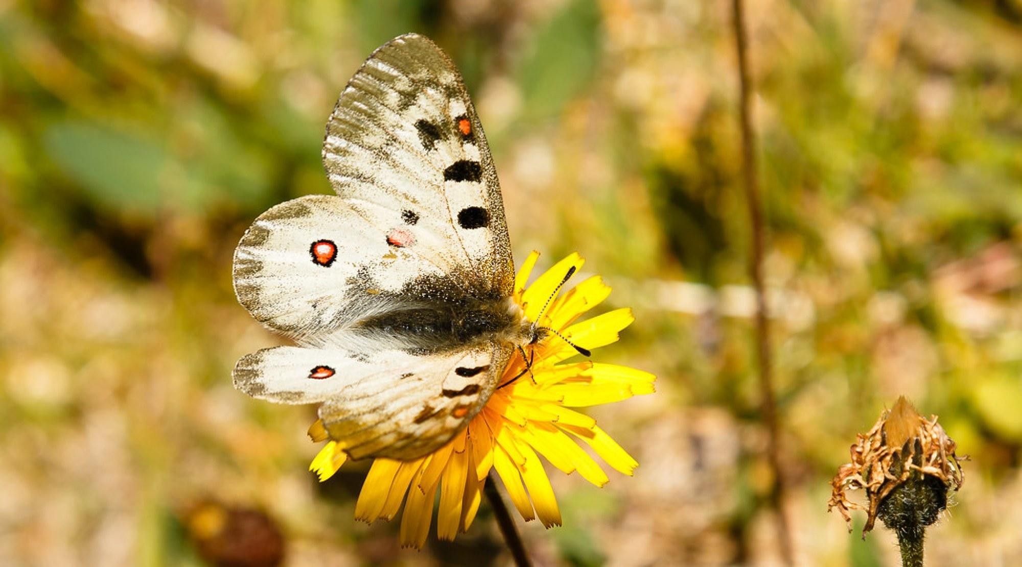 Schmetterling 115