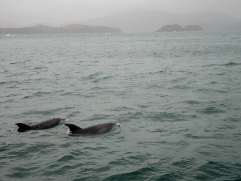 dolphins in the Bay of Islands, New Zealand - the tea break project solo female travel blog